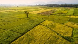 beautiful aerial landscape of yellow rice paddy ready to harvest