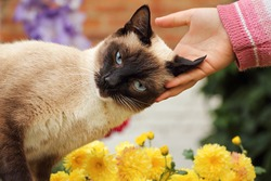 Beautiful affectionate Siamese cat. 