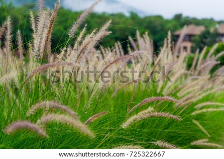 Beautiful African fountain flower blooming grass  field with blurry background in the morning