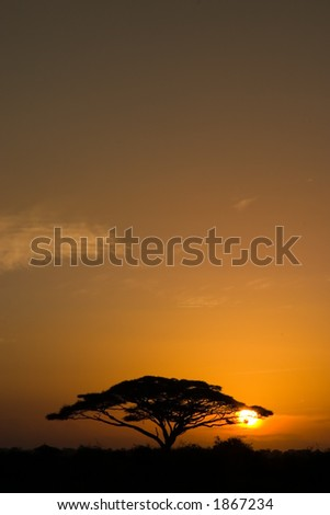 Beautiful african sunrise, with backlit acacia tree on Amboseli Natural Park, Kenya.
