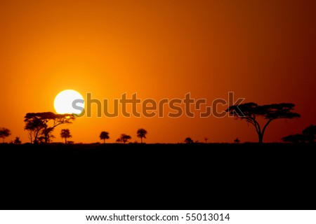 Beautiful african sunset in the Serengeti Park, Tanzania with silhouettes of acacia trees
