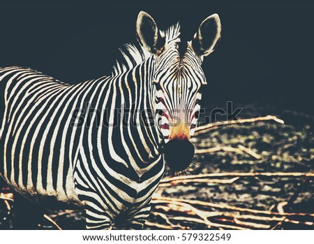 Beautiful african zebra. Creative artwork of African wildlife. Exotic image of African safari & wild animals during travel to Africa. Amazing unique photo of plains zebra. Stylish vintage design Matte