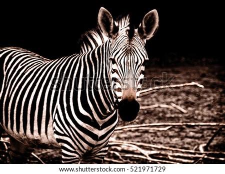 Beautiful african zebra. Creative artwork of South African wildlife. Exotic image of african safari & wild animals during travel to Africa. Amazing unique photo of plains zebra Stylish vintage design