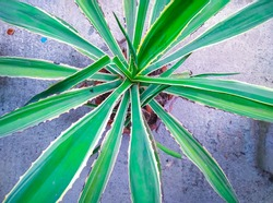 Beautiful agave americana or century plant closeup in a flowering pot with selective focus on subject and background blur in Dhaka, Bangladesh.