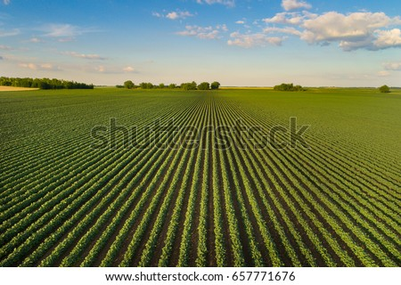 Beautiful agricultural landscape of green soybean rows in open field with blue sky and white clouds #657771676