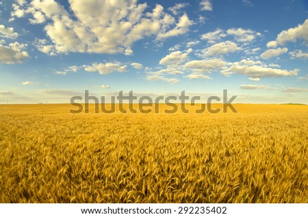Beautiful agricultural landscape showing ripe wheat on sunny summer day. #292235402