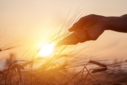 Beautiful agriculture sunset landscape. Ears of golden wheat close up. Rural scene under sunlight. Hand and ripening ears of agriculture landscape. Growth harvest. Wheat field natural product.
