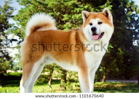 Beautiful akita dog is standing in nature in park outdoors. #1101670640