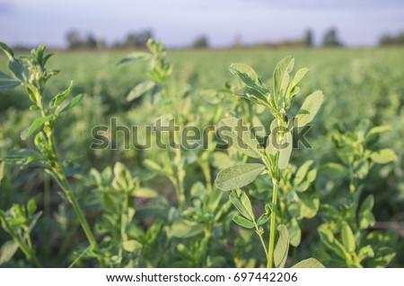Beautiful alfalfa field. Leaves detail. Guadiana Meadows, Badajoz, Spain