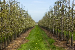Beautiful aligned row of fruit trees abloom during springtime in the Belgian Haspengouw region (Borgloon, Limburg)