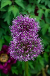 Beautiful allium flower blooms against a background of green peony leaves. A bee is sitting on a flower. Summer time. Flower background.