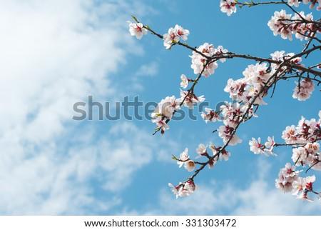 beautiful almond blossoms, blue sky