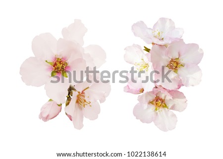 Beautiful almond flowers isolated on white background. Spring pink blossom in different forms. Tender flowers isolated.