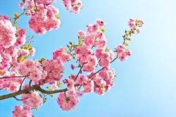 Beautiful almond tree flowers against blue sky (Prunus triloba).