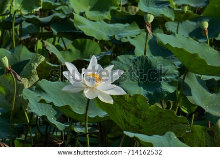 Beautiful alone white lotus flowers in sunny day. White lotus and green leaf in field