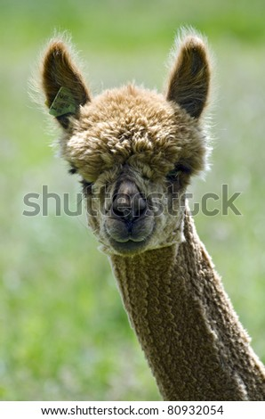Beautiful alpaca portrait; isolated against out-of-focus rural background