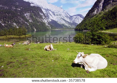 Beautiful Alpine landscape with cow herd near Koenigssee in Bavarian Alps