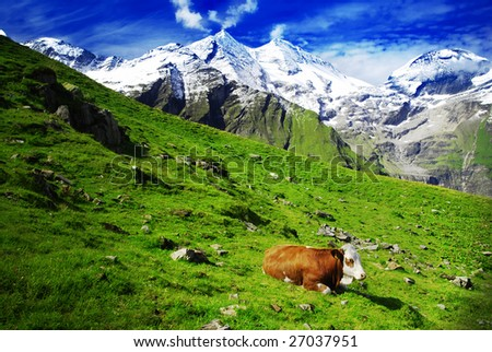 Beautiful alpine landscape with peaks covered by snow and green grass with cow in the foreground. Emphasis on the cow caused by comming light.