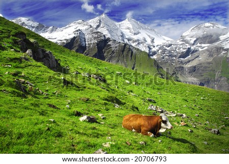 Beautiful alpine landscape with peaks covered by snow and green grass with cows in the foreground.