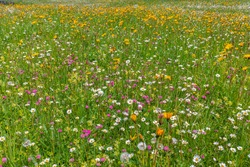 Beautiful alpine meadow with a variety of wild flowers in the Italian Alps