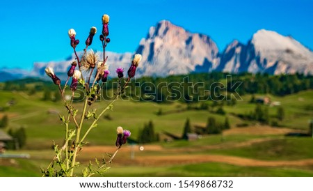 Beautiful alpine view with alpine flower details and the Langkofel and Plattkofel summits at the famous Seiser Alm, South Tyrol, Italy #1549868732