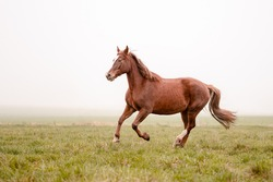 Beautiful amazing chestnut brown mare running on a cloudy foggy meadow. Mystic portrait of an elegant stallion horse.