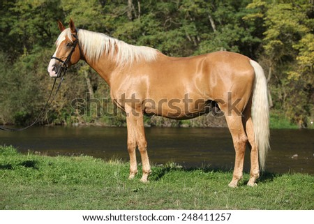 Beautiful amazing palomino warmblood with blond hair in autumn #248411257