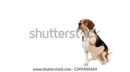 Beautiful american beagle dog sitting on a white background looking at aside #1349400464