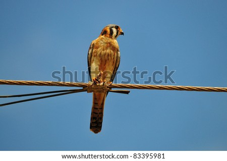 Beautiful American Kestrel (Falco sparverius)  perched on electric wires eating a grasshopper - stock photo