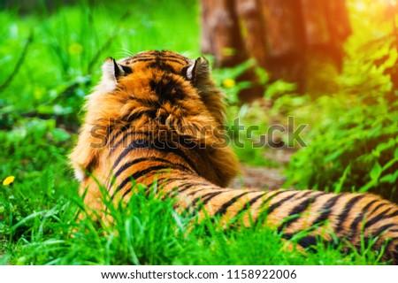 Beautiful amur tiger portrait #1158922006