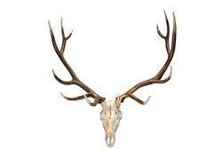 Beautiful Analope skull and antlers isolated against white