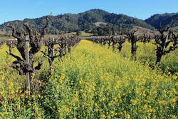 Beautiful ancient vines surrounded with yellow mustard in bloom in Napa Valley, California