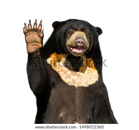 Beautiful and adorable Asian black bear or Asiatic black bear on white background isolated pattern for concept design and decoration, Big bear from Thailand is waving or goodbye and clipping path #1498052360