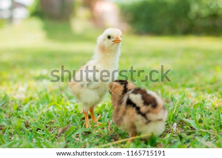 Beautiful and adorable little chickens on the floor, Two yellow and brown chicks is on grass field or lawn on the farm patterns and on natural background for concept design and decoration #1165715191