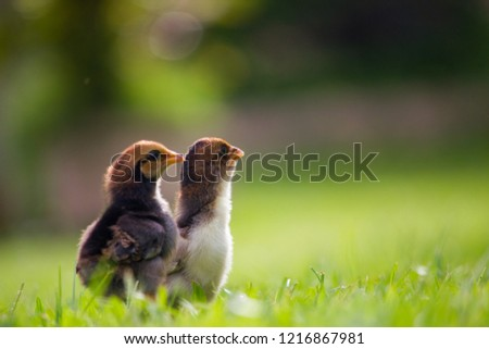 Beautiful and adorable scene of two chicks on grass fields in the farm patterns, Close up two little chickens on grass floor in the farm and on natural background for concept design and decoration #1216867981