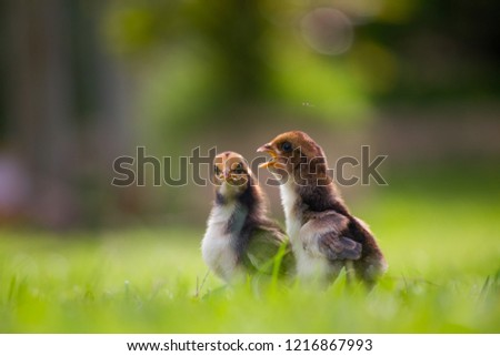 Beautiful and adorable scene of two chicks on grass fields in the farm patterns, Close up two little chickens on grass floor in the farm and on natural background for concept design and decoration #1216867993