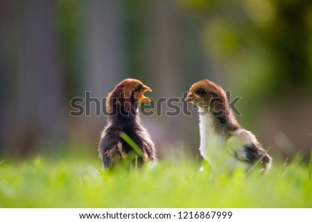 Beautiful and adorable scene of two chicks on grass fields in the farm patterns, Close up two little chickens on grass floor in the farm and on natural background for concept design and decoration #1216867999