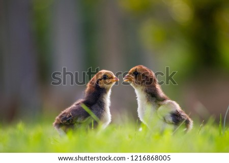 Beautiful and adorable scene of two chicks on grass fields in the farm patterns, Close up two little chickens on grass floor in the farm and on natural background for concept design and decoration #1216868005