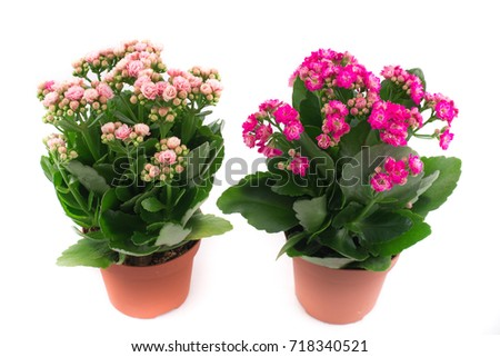 Beautiful and bright  kalanchoe , background,  flowers and pots, cream and pink flowers, cream and pink buds #718340521