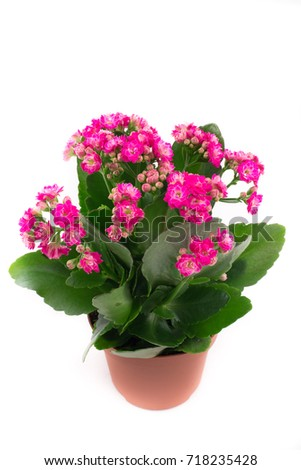 Beautiful and bright  kalanchoe , background,  flowers and pots, pink flowers, pink buds #718235428