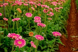 Beautiful and colorful gerbera flowers growing inside of greenhouse. African daisies cultivated in a big glasshouse. Close up, copy space.