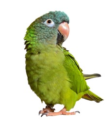 Beautiful and colorful isolated parrot