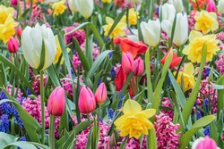 beautiful and colorful pink, white tulips, yellow nacrissus and other flowers with green leaves on the meadow in netherlands in april