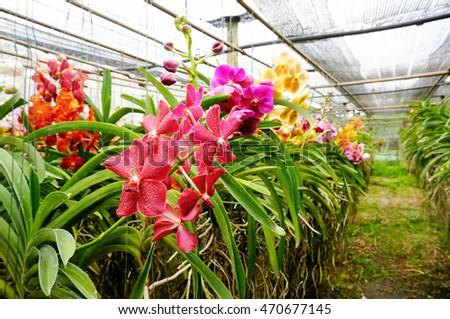 Beautiful and colorful Vanda orchids. Orchid Farm. Thailand