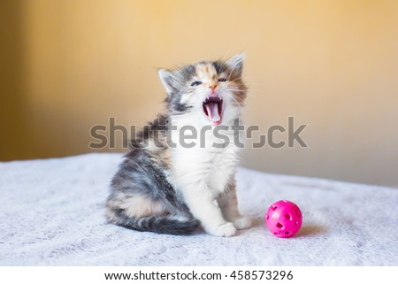 beautiful and colourful kitten shows language. yawns. age 3 months #458573296