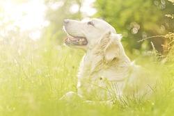 beautiful and cute fun golden retriever / labrador dog in sunset nature