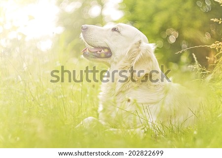 beautiful and cute fun golden retriever labrador dog in sunset nature