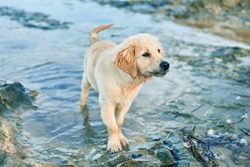 Beautiful and cute golden retriever puppy dog having fun at the beach sitting on the golden sand. Lovely labrador purebred playing splashing water from the sea