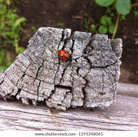 Beautiful and cute picture: a red ladybug sits on the bark of an old tree