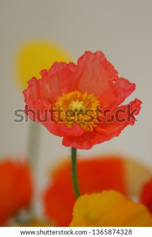 Beautiful and cute picture of poppies